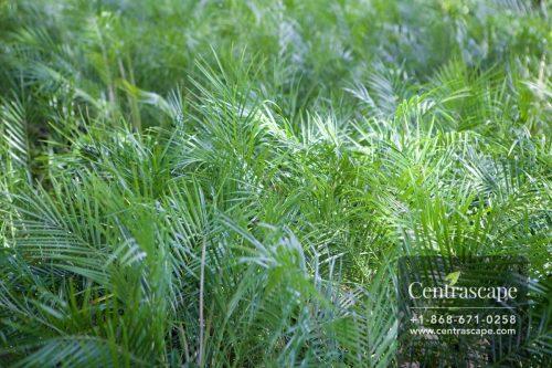 Centrascape - Pamls - Pygmy Date