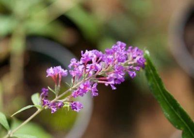 Centrascape - Perennials - Buddleia 1