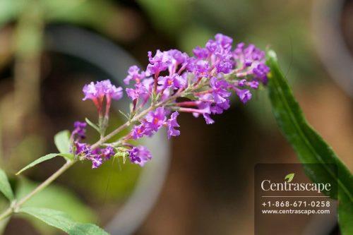 Centrascape - Perennials - Buddleia