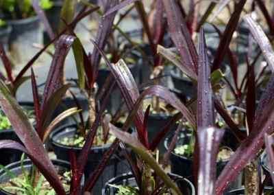 Centrascape - Perennials - Crinum Purple 2