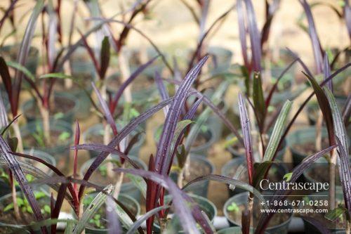 Centrascape - Perennials - Crinum Purple