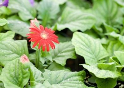 Centrascape - Perennials - Gerbera 1
