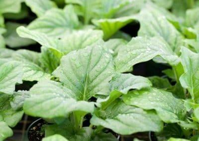 Centrascape - Perennials - Gerbera 2