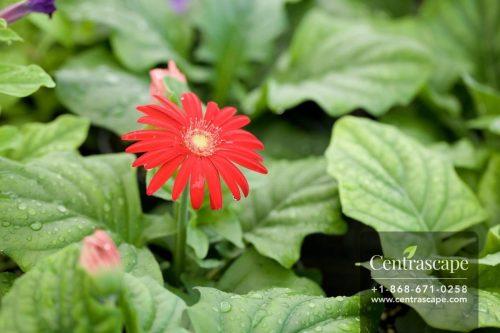 Centrascape - Perennials - Gerbera
