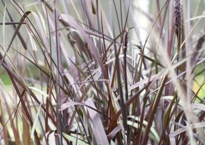 Centrascape - Perennials - Purple Fountain Grass 1