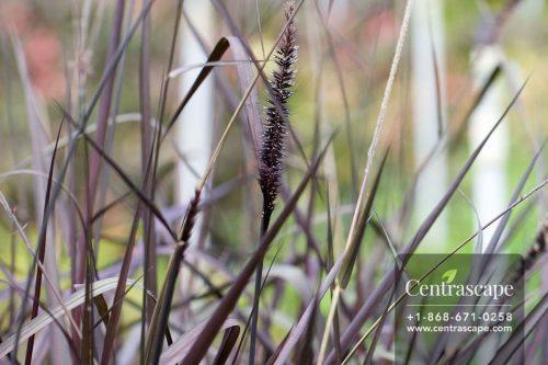 Centrascape - Perennials - Purple Fountain Grass