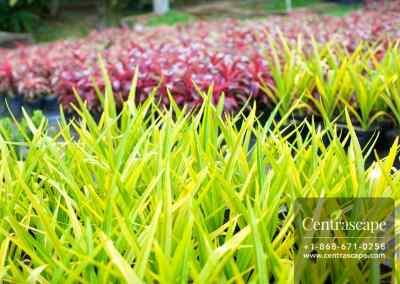 Centrascape - Perennials - Yellow Crinum 1