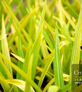 Centrascape - Perennials - Yellow Crinum
