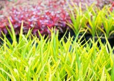 Centrascape - Perennials - Yellow Crinum 3