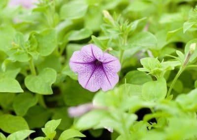 Centrascape - Petunia 1
