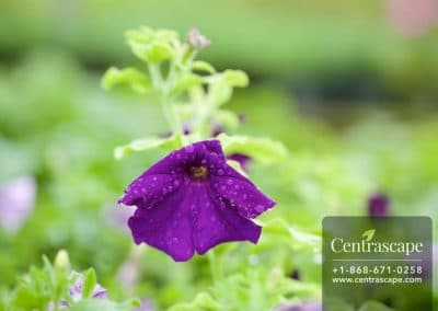 Centrascape - Petunia 2