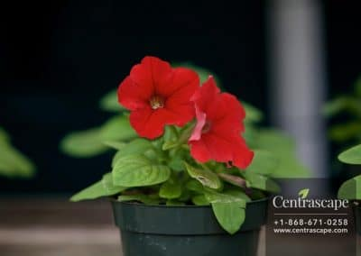 Centrascape - Petunia 4
