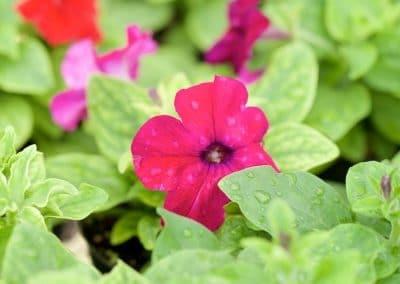 Centrascape - Petunia