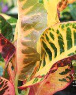Centrascape - Shrubs - Croton