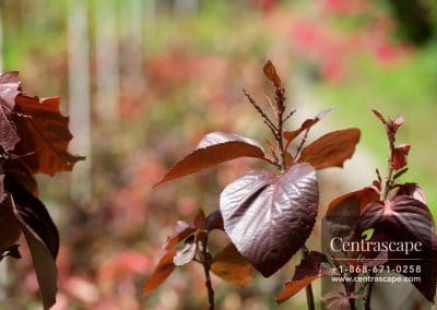 Centrascape - Shrubs - Acalypha 2