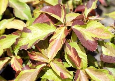 Centrascape - Shrubs - Acalypha 5