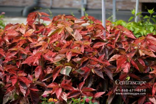 Centrascape - Shrubs - Acalypha