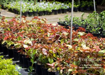 Centrascape - Shrubs - Acalypha 8
