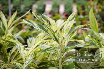 Centrascape - Shrubs - Alpina