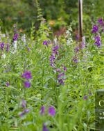 Centrascape - Shrubs - Angelonia