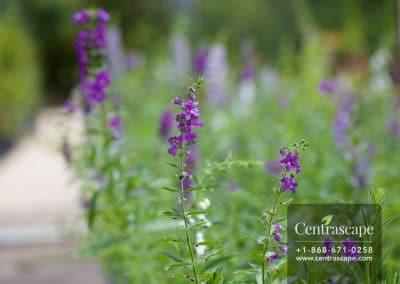 Centrascape - Shrubs - Angelonia 2