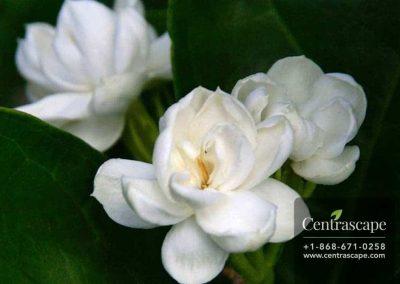 Centrascape---Shrubs---Arabian-Jasmine
