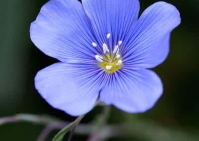 Centrascape - Shrubs - Blue Flax 1