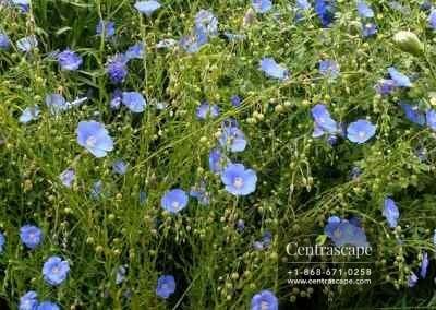 Centrascape - Shrubs - Blue Flax 2