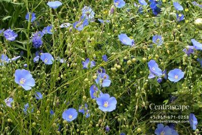 Centrascape - Shrubs - Blue Flax