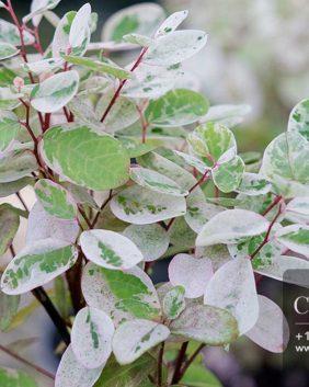 Centrascape - Shrubs - Breynia White