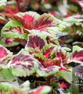 Centrascape - Shrubs - Coleus