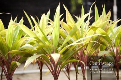 Centrascape - Shrubs - Cordyline