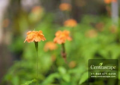 Centrascape - Shrubs - Crossandra 2