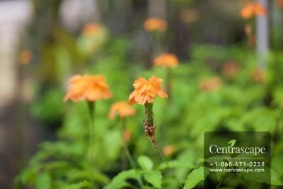 Centrascape - Shrubs - Crossandra