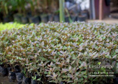 Centrascape - Shrubs- Cuphea 2
