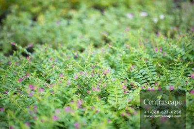 Centrascape - Shrubs- Cuphea