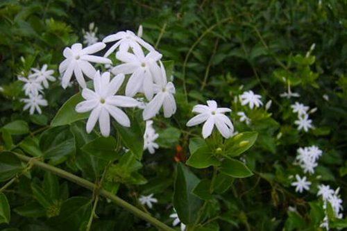 Centrascape - Shrubs - Downy Jasmine