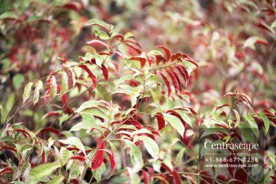 Centrascape - Shrubs - Excoecaria