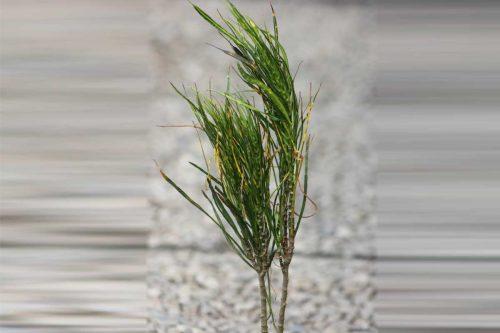 Centrascape - Shrubs - Flame Croton