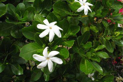Centrascape - Shrubs - Gardenia Tahitian