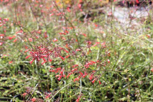 Centrascape - Shrubs - Hummingbird Trumpet