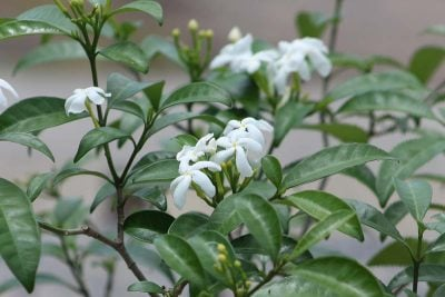 Centrascape - Shrubs - Jasmine Star