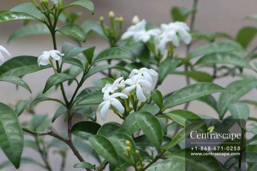 Centrascape - Shrubs - Jasmine Star
