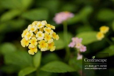 Centrascape - Shrubs - Lantana