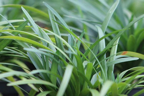 Centrascape - Shrubs - Lirope Green