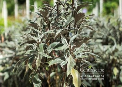 Centrascape---Shrubs---Odontonema-1
