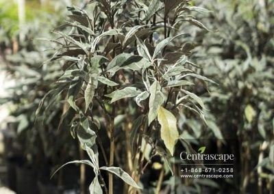 Centrascape - Shrubs - Odontonema