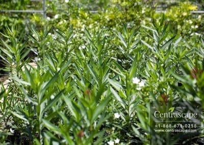 Centrascape - Shrubs - Oleander 1