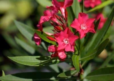 Centrascape - Shrubs - Oleander 2