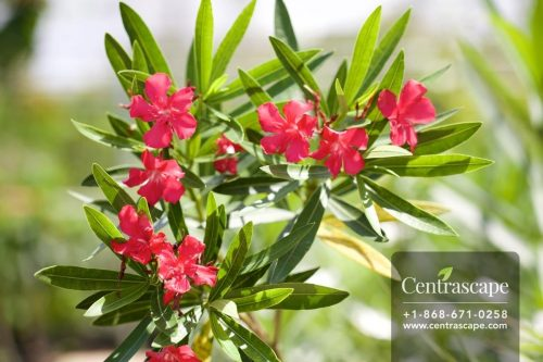 Centrascape - Shrubs - Oleander